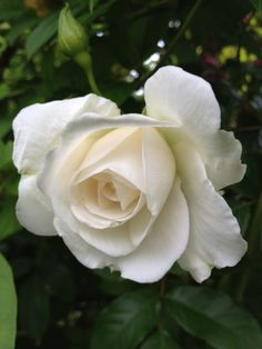 biela ruža - Hledat Googlem