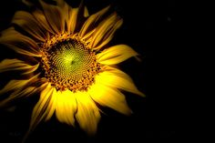 Between Here and There - Original sunflower fine art night photography by Bob Orsillo.  Copyright (c)Bob Orsillo / http://orsillo.com - All Rights Reserved.  Buy art online.  Buy photography online   Sunflower afterdark.