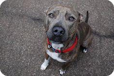 NO LONGER AVAILABLE RUNNING OUT OF TIME Atlanta, GA - Pit Bull Terrier. Meet Molly, a dog for adoption. http://www.adoptapet.com/pet/15445099-atlanta-georgia-pit-bull-terrier