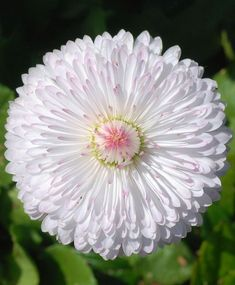English Daisy (Bellis perennis), white flower with hints of pink Маргаритка Exotic Flowers, Amazing Flowers, My Flower, White Flowers, Beautiful Flowers, Beautiful Gorgeous, Daisy Flowers, Daisies, Simply Beautiful