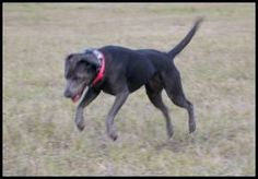 blue lacy dog photo | Dog profile for Talley, a female Texas Blue Lacy