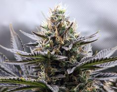 Ιατρική μαριχουάνα και διπολική διαταραχή Plants, Plant, Planets