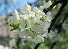 "Prunus avium - Wikipedia, the free encyclopedia ""Cherry blossom"" Tree Identification, Prunus, Cherry Blossom, Beautiful Flowers, Bloom, Garden, Wedding, Image, Britain"