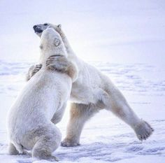 Best images about polar bears on Pinterest