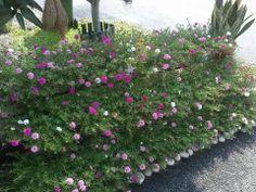 Portulaca Portulaca Flowers, Portulaca Grandiflora, Farm Gardens, Diy Garden Decor, Herb Garden, Container Gardening, Garden Design, Pots, Exotic