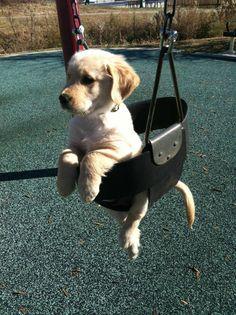 Yellow Labrador Retriever puppy on a swing.