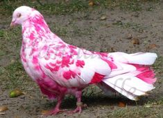 The other strange colored pigeon Pink pigeon Pink Pigeon, White Pigeon, Queen Aesthetic, Pink Aesthetic, Why Are Flamingos Pink, Funny Bird, Fancy Chickens, Pink Animals, Kinds Of Birds