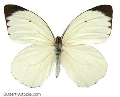 White Glider  (Ascia buneae sublineata)