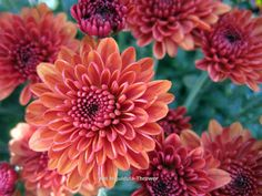 https://www.etsy.com/listing/164030726/orange-chrysanthemums-20-off