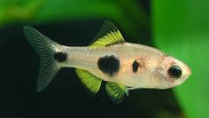 Barbus hulstaerti - African Butterfly Barb Tropical Freshwater Fish, Tropical Fish Tanks, Tropical Aquarium, Freshwater Aquarium Fish, Aquascaping, Community Fish Tank, Paludarium, Vivarium, Nano Aquarium