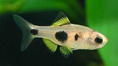 Barbus hulstaerti - African Butterfly Barb Tropical Freshwater Fish, Tropical Fish Tanks, Tropical Aquarium, Freshwater Aquarium Fish, Aquascaping, Community Fish Tank, Nano Aquarium, All Fish, Cichlids