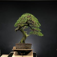 Bonsai Tree Care, Bonsai Trees, Pine Bonsai, Human Art, Small Trees, Tree Designs, Garden Tips, Ikon, Orchids