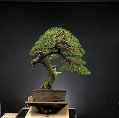 Bonsai Tree Care, Bonsai Art, Bonsai Garden, Bonsai Trees, Pine Bonsai, Human Art, Small Trees, Tree Designs, Garden Tips