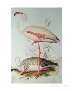 Flamingo Giclee Print by Edward Lear at AllPosters.com