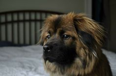 Meet Bijou a Petfinder adoptable Pekingese Dog   Florence, KY   Hello! My name is Bijou! I am a small female Pekingese/Chow mix who is looking for a furever home!...