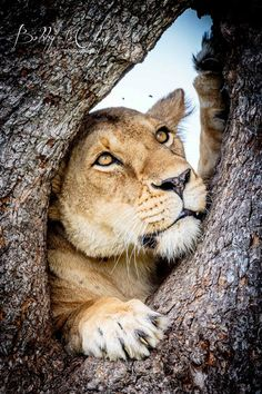 What is This Lioness Thinking About?