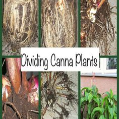 Digging Up Canna Bulbs In the Midwest we find ourselves digging up canna bulbs to store for winter.