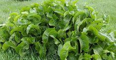 Liście chrzanu są jedyną rośliną, która potrafi wyciągać sól przez pory skóry - Smak Dnia Herb Garden, Korn, Lettuce, Spinach, Food And Drink, Herbs, Vegetables, Health, Nature