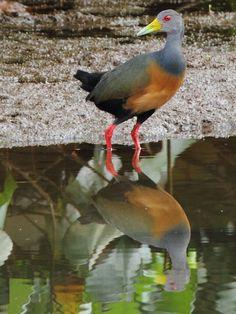 Foto saracura-três-potes (Aramides cajaneus) por Felipe Castro | Wiki Aves - A Enciclopédia das Aves do Brasil