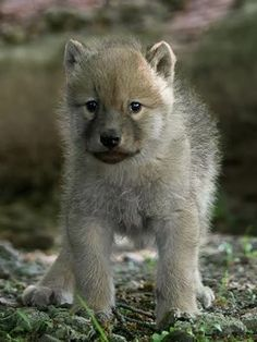 Wolfe discovers the world Wolf photos & pictures on fotocommunity Erwin Titze Tiere Wolfe discovers the world Erwin Titze Wolfe discovers the world Wolf photos & pictures on fotocommunity Tiere Wolfe discovers the world E Wolf Photos, Wolf Pictures, Animal Pictures, Wolf Spirit, Spirit Animal, Cute Baby Animals, Animals And Pets, Strange Animals, Exotic Animals