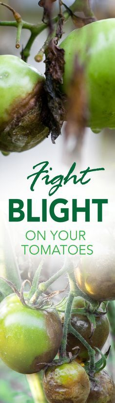 When this common fungal disease affects a tomato patch, it can systematically destroy the plant, killing the tissue of leaves, stems and fruits. Check out this article to learn more. Pin now, read later! #tomatoes