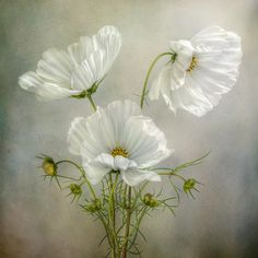 Cosmos Photograph    by Mandy Disher