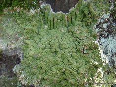 Green tree lichen