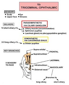 Instant Anatomy - Head and Neck - Nerves - Cranial - Va (Trigeminal - ophthalmic division)