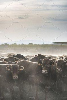 Bulls in a farm. Photos Calves in farm for veal. by Deyan Georgiev
