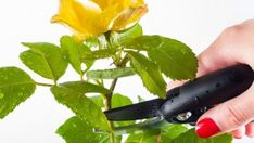 When and How to Prune Trees, Shrubs, and Flowers Correctly Garden Bulbs, Garden Trees, When To Prune Roses, How To Deadhead Roses, Deadheading Roses, Most Popular Flowers, Tree Pruning, Types Of Roses, Plant Guide