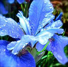 BLUE Flower Nature Photography Siberian Iris by JanetLongArts, $35.00