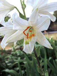 Lilium candidum (Azucena). http://www.elhogarnatural.com/Bulbosas.htm