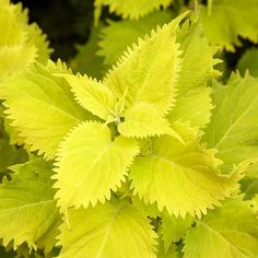 "This coleus is sure to draw attention to any garden with its bold, chartreuse foliage. Plant 'Wasabi' as the ""thriller"" in your thriller, spiller, filler container combo. See more of our annual faves: http://www.bhg.com/gardening/gardening-trends/editor-doug-jimerson-new-plants/ #Coleus"