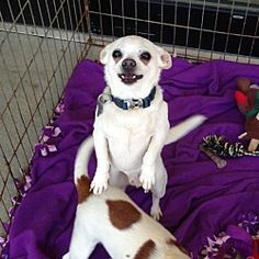 Pictures of Zane a Chihuahua for adoption in Acworth, GA who needs a loving home.