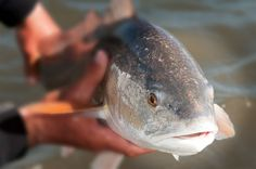 Pro secrets for catching more and bigger #redfish.