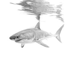 The great white shark! Injuries and scars can often serve as good identifiers for individual great whites. This particular male, known as Geoff Nuttal has a small notch missing from his dorsal fin.