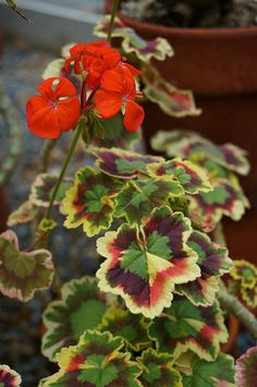 Pelargonium 'Skies of Italy'