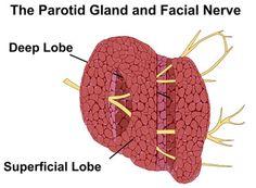 Salivary Gland Surgery - Cedars-Sinai Parotid Gland, Pituitary Gland, Adrenal Glands, Pineal Gland, Thyroid Gland, Facial Nerve, Salivary Gland, Endocrine System, Coping Mechanisms