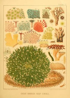 Australian Barrier Reef Corals Illustration from an 1893 book Digital Download no. 1765