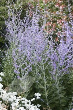 Perovskia 'Blue Spire' (Russian sage) - likes sun, flowers August and September.