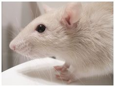 Rats are very sweet especially my 5.