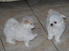 Maltese puppies. #maltese