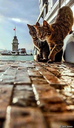 Madien Towers by Yaşar Koç on .The Cats of Istanbul I Love Cats, Big Cats, Cool Cats, Cats And Kittens, Crazy Cat Lady, Crazy Cats, Animals And Pets, Cute Animals, Gatos Cats