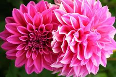 Two Dahlias In Shades Of Pink by Laurel Talabere