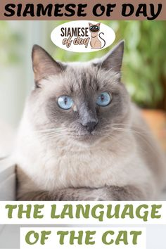 Since we don't use the same language as our cat, sometimes we are confused by its behavior. We sometimes think that he is disobedient or stubborn when his behavior is perfectly normal for a cat. However, by better understanding how cats communicate and, for example, why they meow, it is possible to live with them in perfect harmony #siamese #siameseofday #cats #pets #kittens #Blog #cattips #cathealth #kitten #justcats Siamese Cats, Kittens, Michael Fox, Means Of Communication, Kitten Care, Happy Relationships, Cat Health, Talking To You, Understanding Yourself