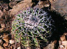 Discocactus placentiformis var latispinus