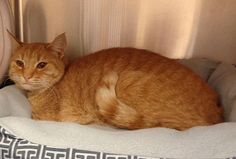 Pictures of ANDREA(available 12/13) a Domestic Shorthair for adoption in Marietta, GA who needs a loving home.