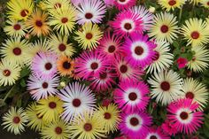 Livingstone Daisy Seeds a.K.a Ice Plant - Mix - Great for perennial flower garden.