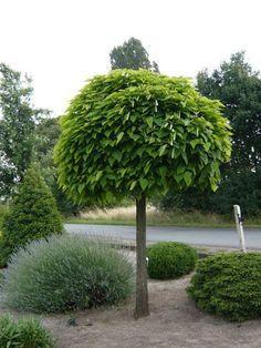"""Catalpa bignonioides 'Nana' / Kugel-Trompetenbaum – beliebt bei vielen Hausbesitzern als Vorgartenbaum oder auch für den """"normalen Garten"""". Bildet mit den großen Blättern eine sehr dichte Krone, die auch von vielen Vögeln dankbar als Nistplatz angenommen wird."""