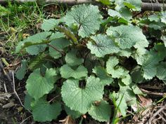 Wild Edibles: How to Identify and Eat Garlic Mustard